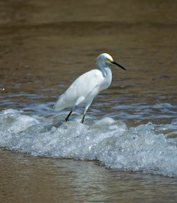 Snowy egret at Playa La Bocana Huatulco, from our sailing blog