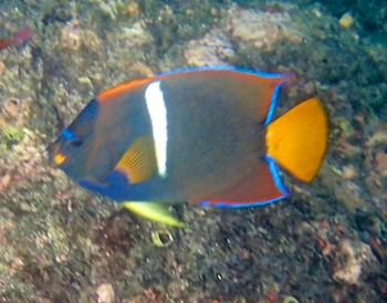 King angel fish Santa Cruz Bay huatulco sailing blog