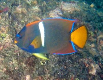 King angel fish Santa Cruz Bay huatulco sailing blog