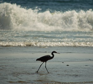 A heron walks Playa Playa La Bocana Huatulco from our sailing blog
