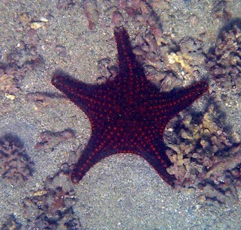 Star fish (sea star) Santa Cruz Bay huatulco cruising blog