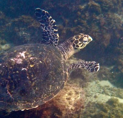 Sea turtle Santa Cruz Bay huatulco sailing blog 405