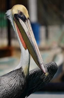 Pelican Huatulco Mexico cruising blog