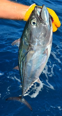 skip jack tuna sailing blog