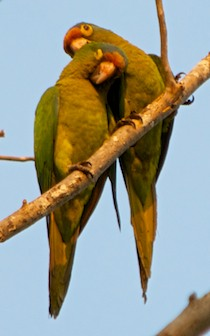 Orange fronted Parrots Huatulco Mexico cruising blog