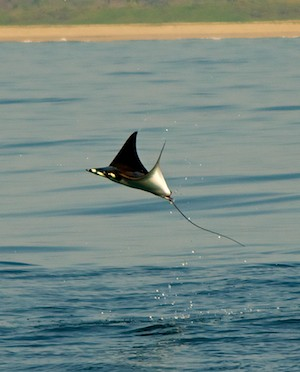 manta rays leaping sailing blog