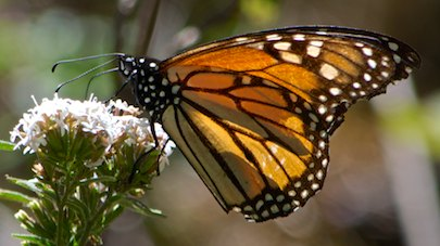 El Rasario Monarch butterflies Morelia Mexico cruising blog