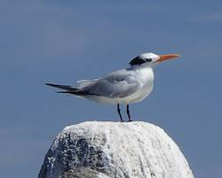 Tern sitting on rock