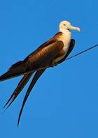 Frigate bird on wire