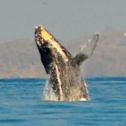 Whale breach XZQK3RSSYWQF