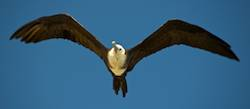 Frigate bird Flying
