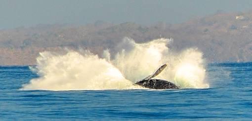 Humpback Whale breaching XZQK3RSSYWQF