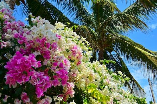 bougainvillea flowers cuastecomate mexico