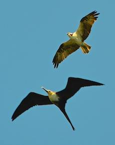 Osprey & frigate bird in flight.