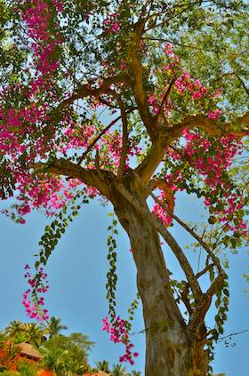 Bougainvillea flowering tree