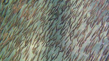 Fish school in formation