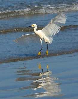 snowy egret landing in nuevo vallarta