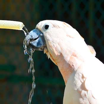 Moluccan Cockatoo drinking from a hose