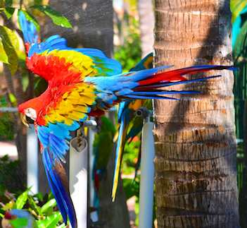 scarlet Macaw flapping his wings