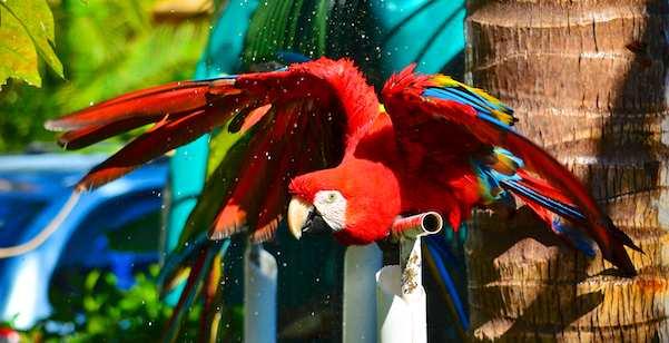 Scarlet macaw takes a bath