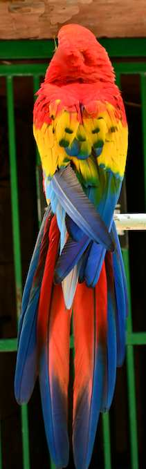 scarlet macaw shows off his colors