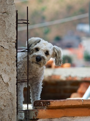 Dog on Guanajuato rooftop