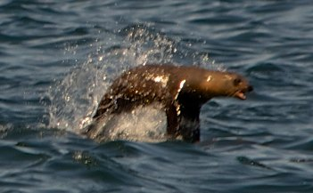 Sea lion in Baja California