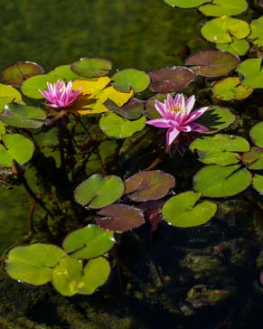 Lilies in lily pond