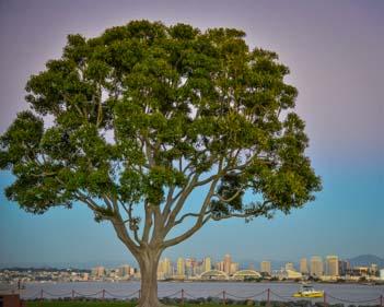 Big tree on Shelter Island
