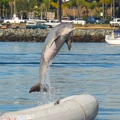 Dolphin leaping in San Diego bay