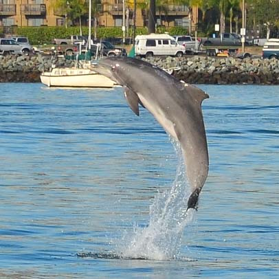 San Diego dolphin jumping