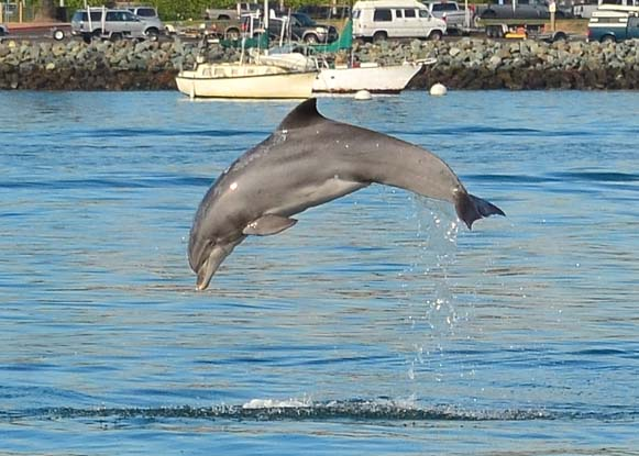 Dolphin leaps clear out of the water