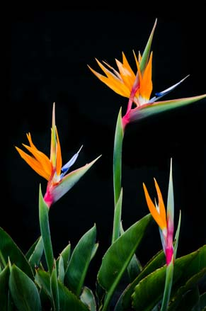 Trio of bird of paradise flowers