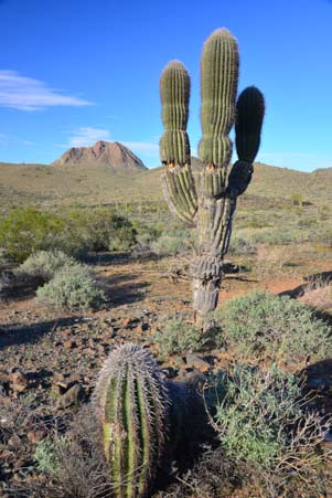 Sonoran desert scenery: saguaro, barrel cactus and a mountain