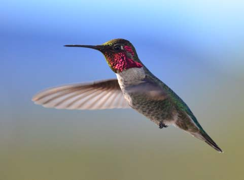 Darting hummingbird in a blue sky