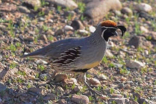 A gambel's quail runs past