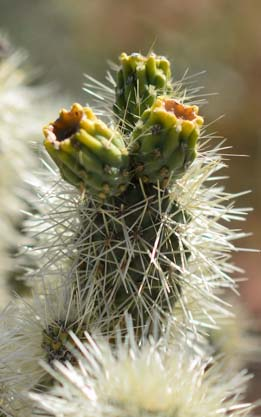 Closeup of cholla flower
