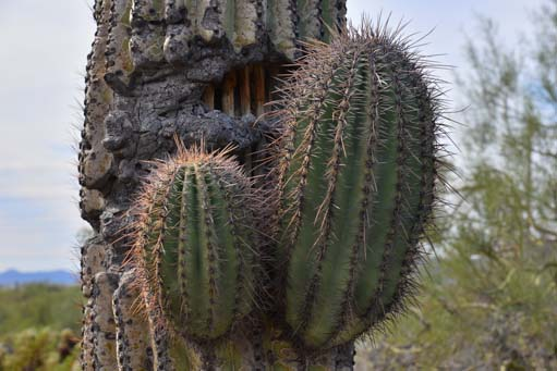 Closeup of Arizona saguaro cactus