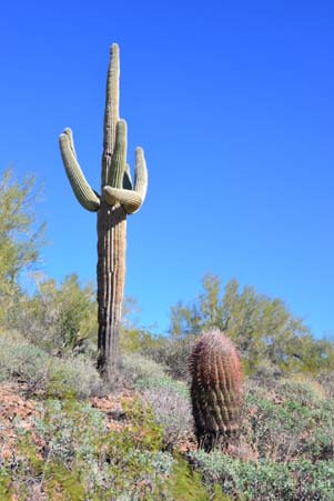 Saguaro conversation
