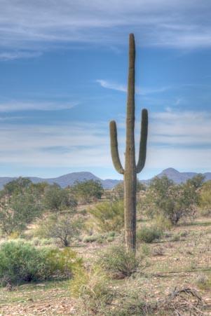 Standing Saguaro in Phoenix
