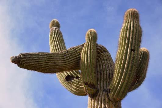 Curvy saguaro cactus
