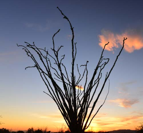 Ocotillo cactus at sunset in Arizona