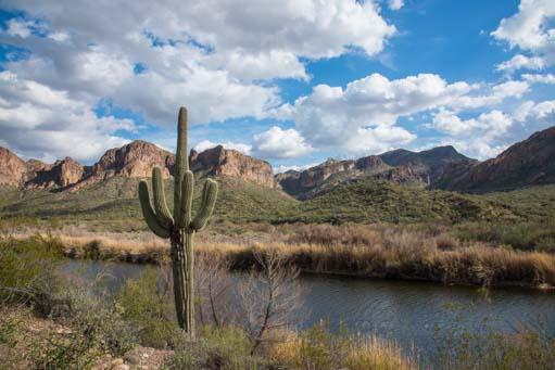 Saguaro cactus by the Salt River