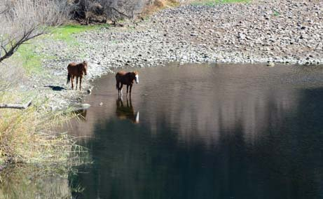 Wild Horses in Arizona's Salt River