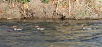 Three ducks get a joy-ride