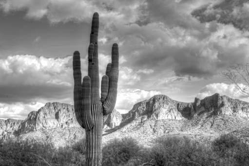 Black and white saguaro cactus