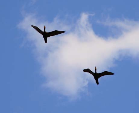 Pair of cormorants flying