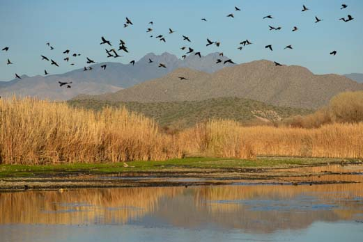 Grackles in front of Four Peaks Arizona