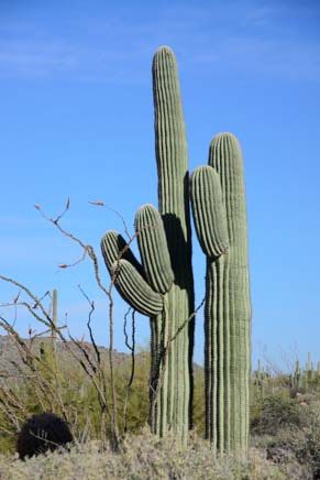Two saguaros on Windy Cave hiking trail