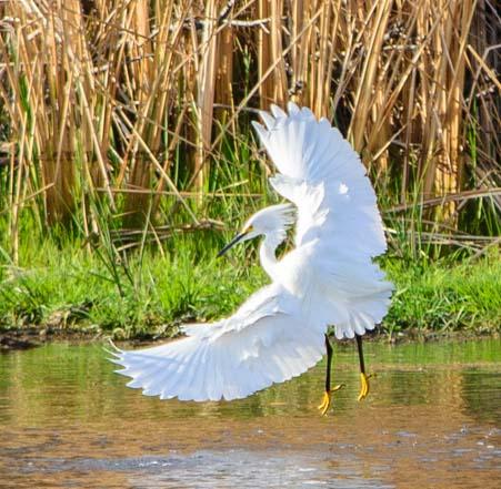 Snowy egret dancing